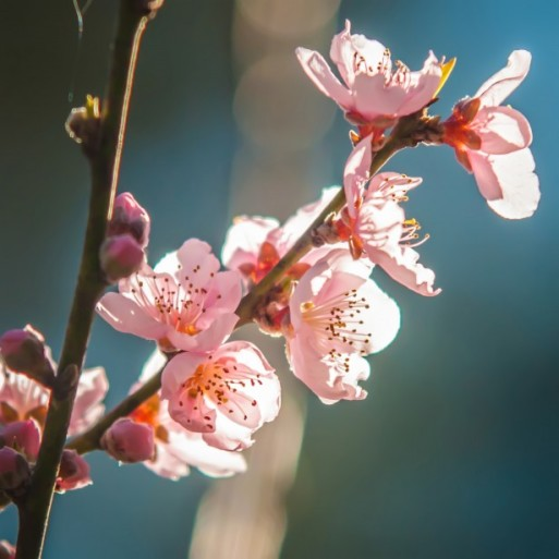 peach-tree-blossom